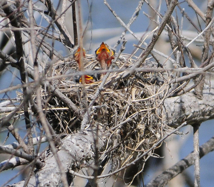 Four new chicks in the Eastern Kingbird Nest, Smoky Hills pond