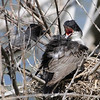 Kansas Eastern Kingbird sheltering four chicks under her wing; father bringing her a meal.