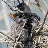 Heat stress, 106 degrees later today.  Mom keeps ruffled for cooling, and chicks try to reach out of nest